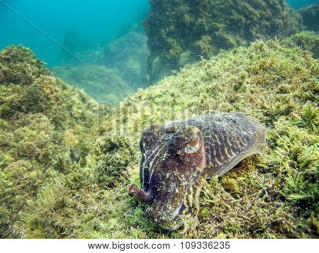 Cuttlefish In Natural Habitat Of The Sea