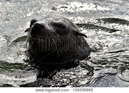 Portrait Cape Fur Seal (arctocephalus Pusilus)