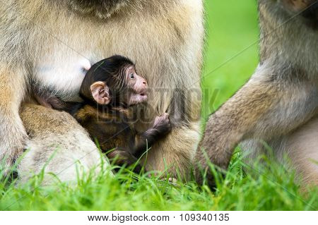 Baby Barbary Macaque (Macaca Sylvanus)