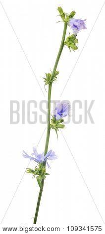 Cichorium flower isolated on white background