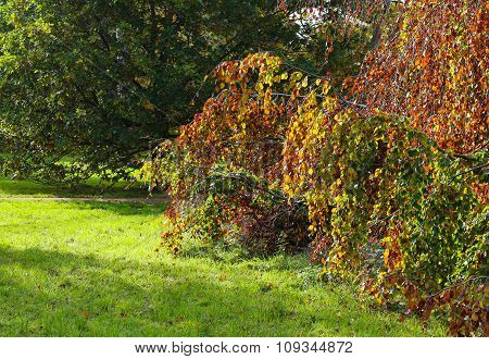 Weeping Beech Tree Autumn Colorful Foliage Background