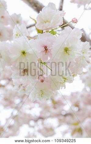 Sakura. Cherry Blossom In Springtime.