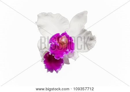 Selective Focus Of Orchid Flower Isolated On White