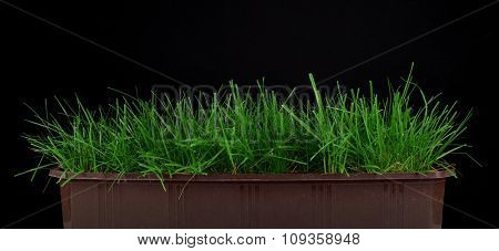 Green grass in flower pot on black background