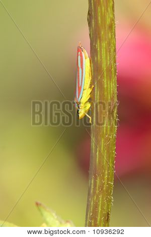 Scarlet-and-green Leafhopper (graphocephala Coccinea)