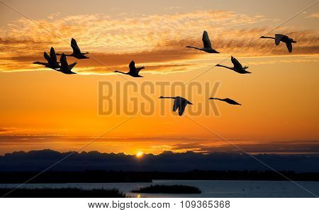 Autumn Migration Of Cranes