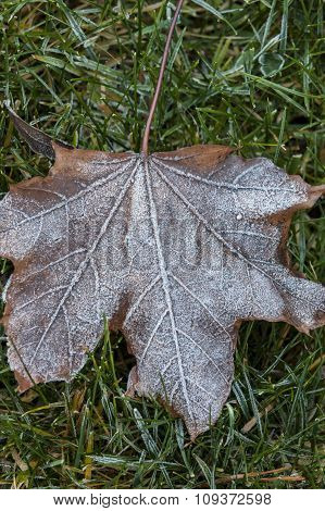 Light Frost On Leaf.