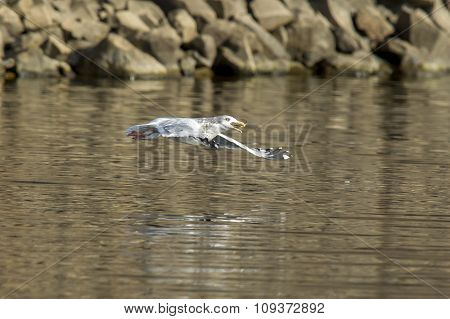 Seagull Soars Just Above Water With Fish In Beak.
