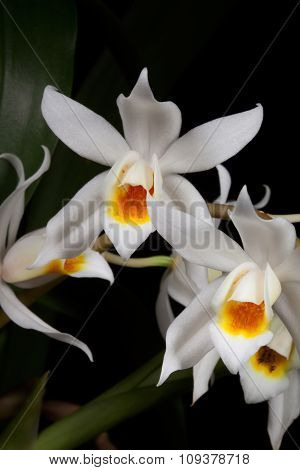 Orchid Flower On Black (coelogyne Mooreana)