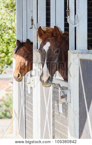 Pair Of Brown Horses