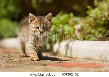 Gray Little Clumsy Kitten