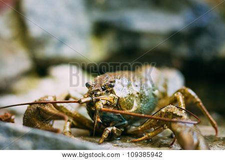 Wild Signal crayfish is sitting on stone