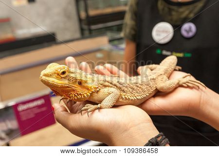 Big yellow Iguana on human hand