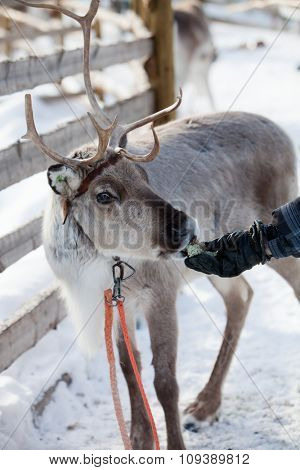 Reindeer eating in Finnish lapland