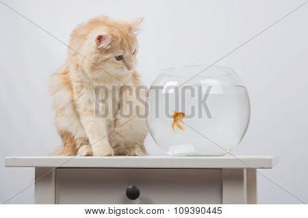 The Cat Wants To Get A Foot Goldfish