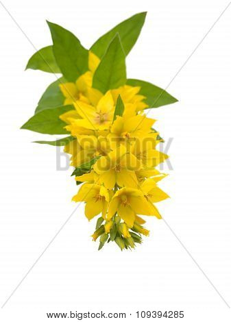 Yellow Loosestrife Isolated On White