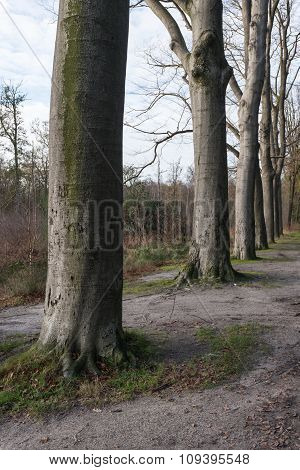 Ancient Beech Trees In A Row