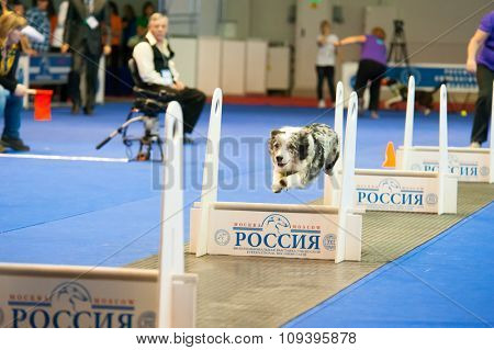 MOSCOW, RUSSIA - NOVEMBER 1, 2015: Fly ball competition during International Dog Show CACIB-FCI on November 1, 2015 in Moscow, Russia