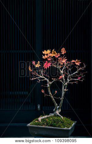 Japanese Maple Tree As Bonsai