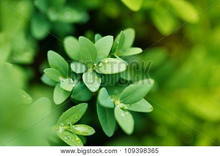 Close-up Shot Of Green Bush Boxwood After Rain