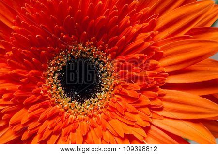 Orange Red Gerbera Flower Close Up