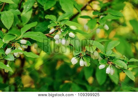 honeyberry as known as sweetberry honeysucle flowers close up in spring garden. Bush giving edible b