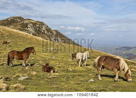 Wild Horses Grazing At High Altitude