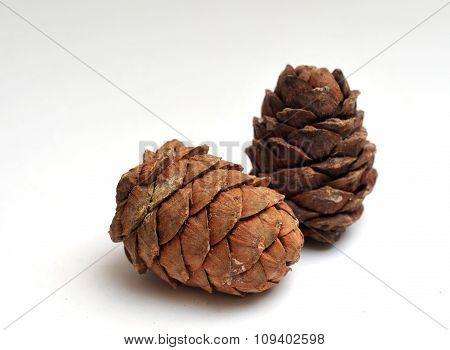 single cedar cone isolated