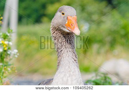 Closeup Gray Goose