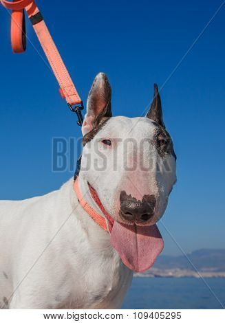 Bullterrier With Brown Monocle