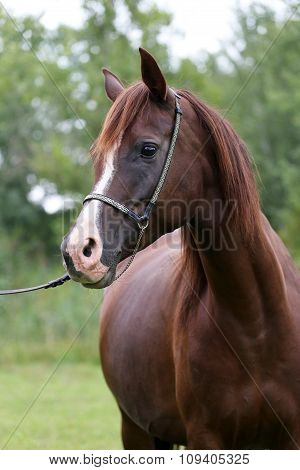 Purebred Arabian Horse Head On Natural Background
