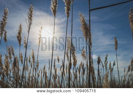 Field with reed, sun and sky in Russia