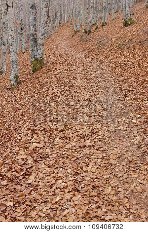 Autumn Landscape With Beech Forest. Leaves On The Ground. Spain