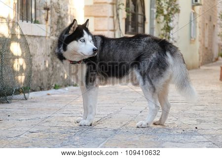 dog of Siberian Husky breed