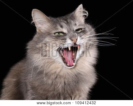 Cat yawns. Portrait of a big cat.