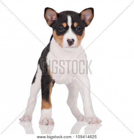 adorable basenji puppy on white