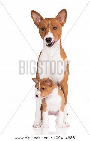 basenji dog with a puppy