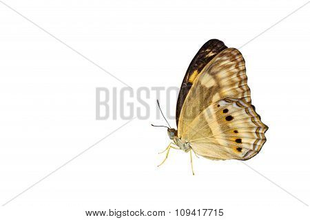Isolated Little Banded Yeoman Butterfly On White