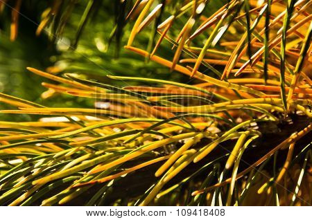 Detail from nordic spruce evergreen tree, north Iceland