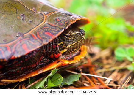 Wild Painted Turtle Hiding In Shell But Peaking Curiously At Camera