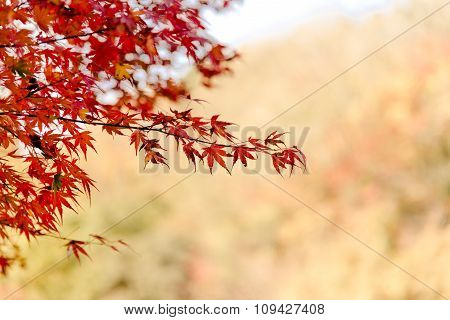 Maple Trees With Red Leaves In Autumn