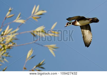 Male Wood Duck Flying Low Over The Trees