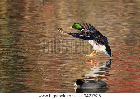 Mallard Duck Landing On The Autumn Pond