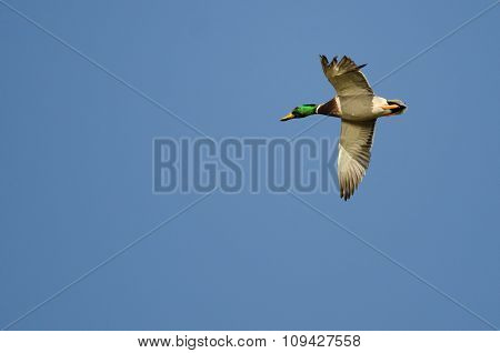 Mallard Duck Flying In A Blue Sky With A Tattered Wing