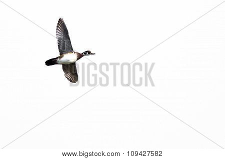 Male Wood Duck Flying Against A White Background