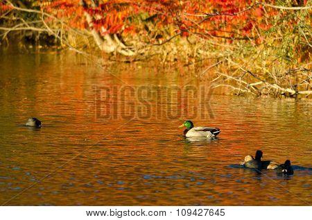 Mallard Duck Swimming In The Blaze Of Autumn Color