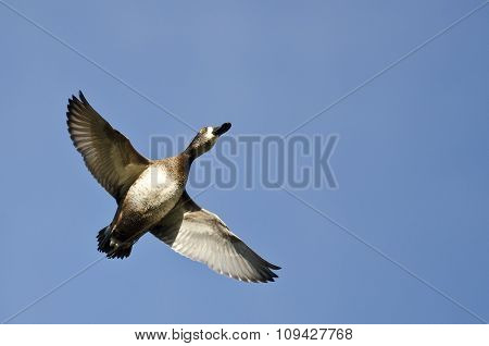 Female Ring-necked Duck Flying In A Blue Sky