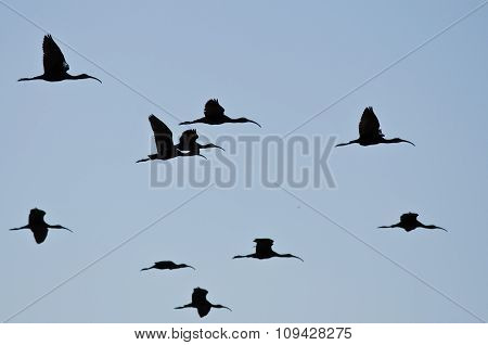 Flock Of Silhouetted White-faced Ibis Flying In A Blue Sky