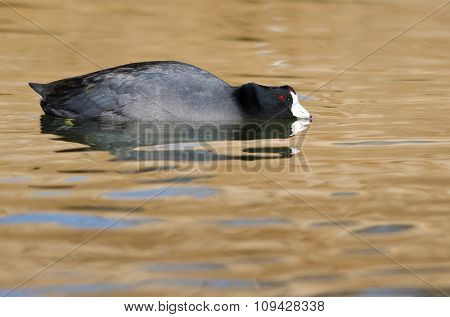 American Coot Resting On The Golden Autumn Pond