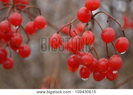 Red guelder rose